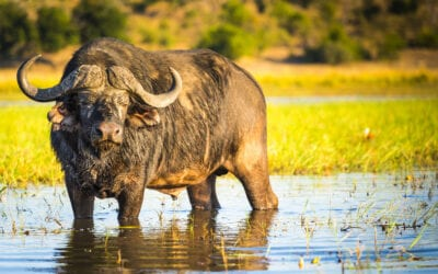 Let Go of the Water Buffalo